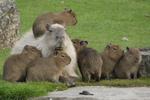 Avatar of Double Capybara