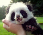 Avatar of Humming Panda